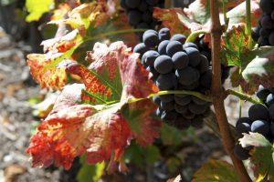 Grappes et feuilles dans le vignoble avant leur récolte
